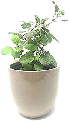 EaglesFord Basil Tulsi Herbal Plant with Pot