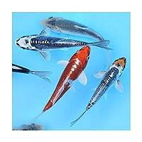 (錦鯉)錦鯉ミックス Sサイズ 6~10cm(5匹)