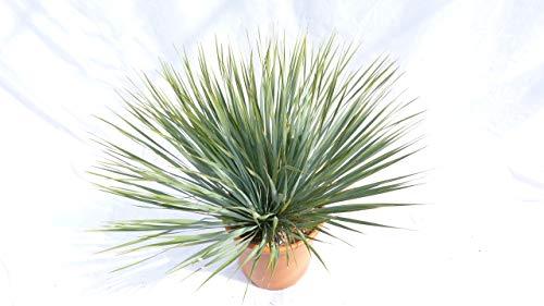 Yucca Rostrata XL blaublättrig Palme 60-80 cm Kugel kugelrund, extra winterhart