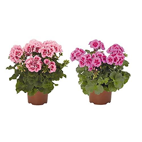 Geranio Pack de 2 Unidades de Geranios con Flor Plantas Naturales de Exterior e Interior