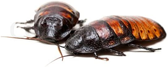 Honeybees100 Madagascar Hissing Cockroaches Mixed Pair (2 Roaches)