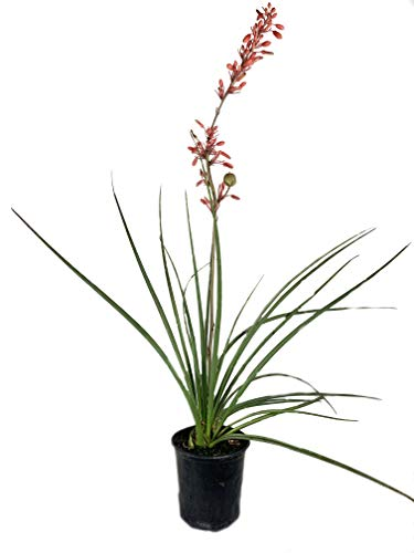 Red Yucca - 3 Live Plants in 6 Inch Pots - Hesperaloe Parviflora - Bird Friendly Evergreen Succulent