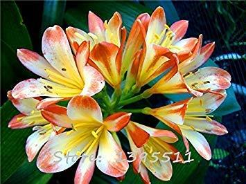 VISA STORE 1bag = 100 Stück Günstige clivia Samen, Clivia Topfpflanzensamen, Bonsai Bcony Haus & Garten