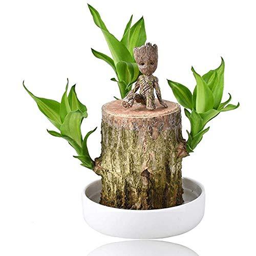 Mini Brazil Lucky Wood Plantas hidropónicas en Maceta Groot Stump,Aire Limpio Decoración...