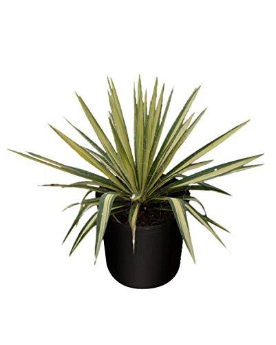 PlantVine Yucca filamentosa 'Color Guard', Adam's Needle - Large - 8-10 Inch Pot (3 Gallon), Live Plant