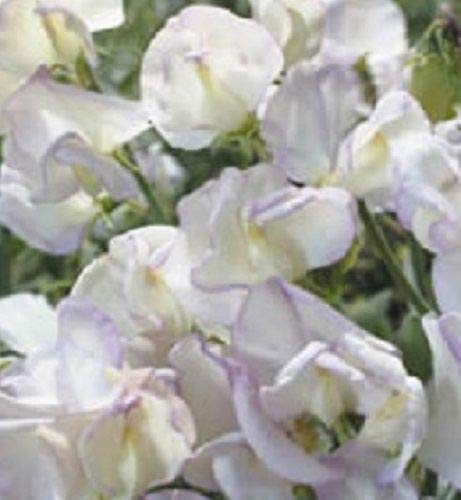 Portal Cool Kings Seeds - Sweet Pea Kings Haute Parfum - 20 graines