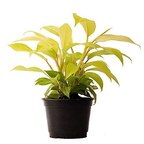 American Plant Exchange Philodendron Lemon Lime Super Easy Care Live Plant, 4″ Pot, Bright Indoor Air Purifier