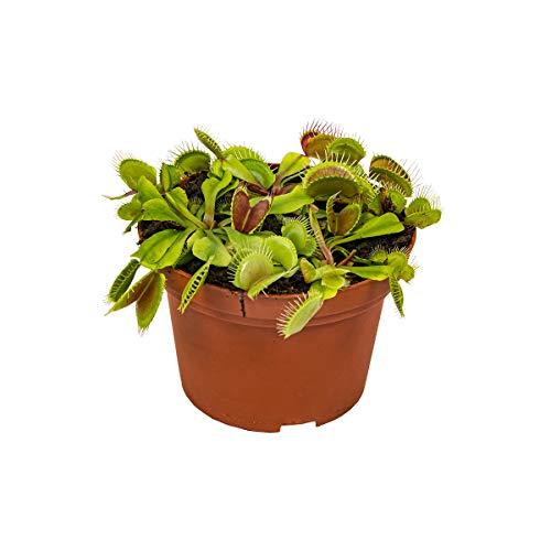 Fleischfressende Pflanze Dionaea pro Stück - Innen- und Außenpflanze im Aufzuchttopf cm12 cm - ↕15 cm