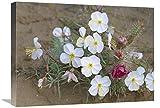 Global Gallery Primula da Sera con Cactus Grizzly Orso, Nord America-Canvas Art-61 x 45,7 cm