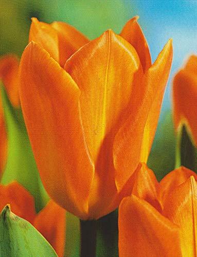100 Tulpenzwiebeln Orange Brilliant Blumenzwiebeln Tulpen