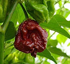 *Seeds and Things Trinidad Chocolate 7 Pot Douglah – Might Be the World's 2nd Hottest Chili Pepper 10 + Seeds-