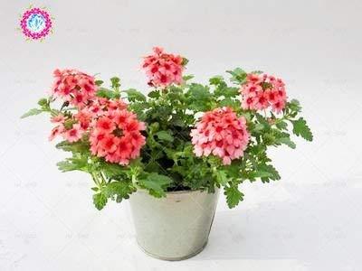 graines 100pcs Verveine seeds.Verbena HORTENSIS, graines de bonsaï rares fleurs Hanging plantes balcon intérieur fleurs pour le jardin de la maison 6