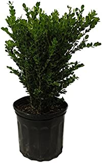 japanese evergreen