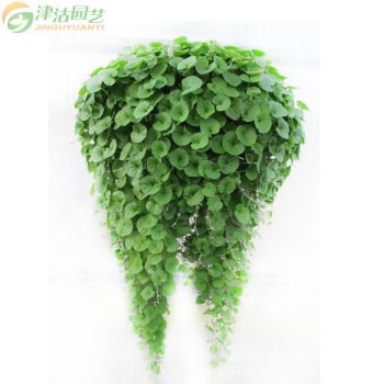 Suspendre Vert Creeping Dichondra ornemental Feuilles Graines de plantes, Professional Pack, 1000 Graines / Paquet, Très Intéressant