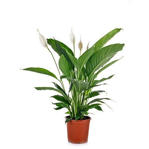 Friedenslilie | Spathiphyllum 'Vivaldi' pro Stück - Zimmerpflanze im Aufzuchttopf cm17 cm - ↕70 cm