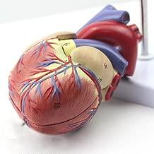 Genuine 1: 1 human heart model B-color ultrasound medical cardiology cardiac anatomy teaching model