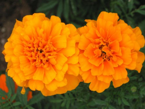 Graines d'Orange Marigold, œillets d'Inde, Heirloom Seeds, facile à cultiver! 100CT