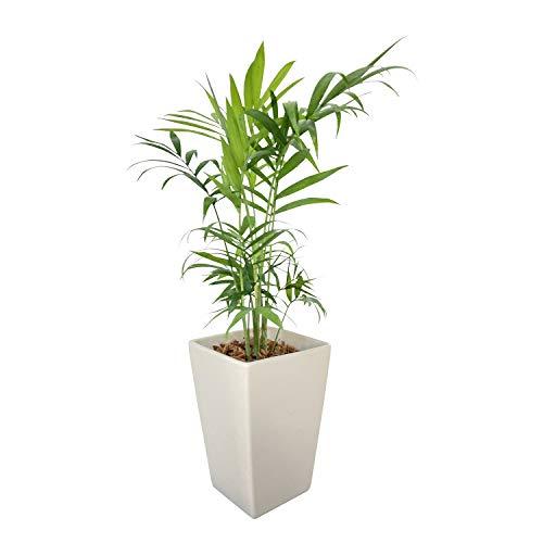 花のギフト社 テーブルヤシ 陶器 鉢植え 観葉植物 インテリア 在宅ワーク 背景 癒し 白 観葉