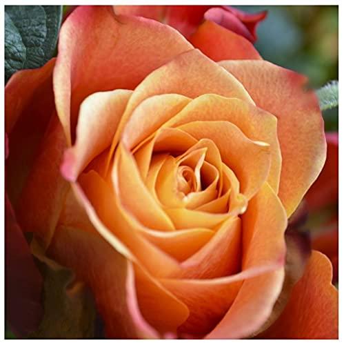Rosa 'Remember Me' Hybrid Tea Rose Bush, Double Bright Coppery Orange Flowers 3fatpigs®