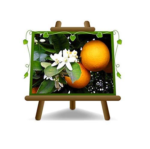 Orange Bitter Citrus Fruit - Plante sur un pot de 26 - Arbre max 200 cm