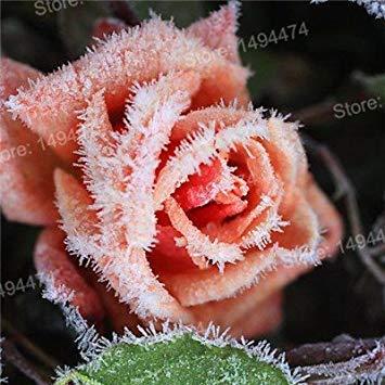 Vistaric 200 pcs Rare Mixte Couleur Rose Graines arc-en-rose rose graines Plante vivace fleurs bonsaï pot Maison Jardin Décoration Graines De Fleurs Blanc