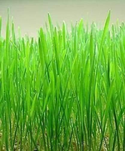 ShopMeeko Seed Weizen s Seed (100 pro Paket)