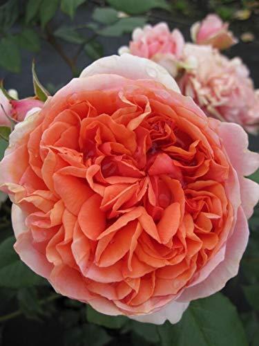 Edelrose Chippendale® - Rosa...
