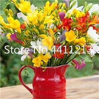 GEOPONICS SEMILLAS: 150 piezas/bolsa de Fresia de la planta, Fresia Fresia flor de Bulbos de flores Bonsai Flores de la orquídea Freesia Rizoma flores bulbosas: 12