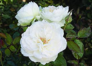 1 Bolero Rose Plant Potted Very Fragrant Pure White Flowers