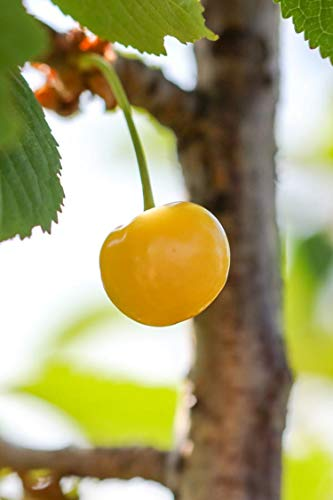 Albero di Ciliegio pianta di ciliegia varietà Bianca Di Verona Età 2 anni pianta vera di ciliegio in vaso venduta da eGarden.store