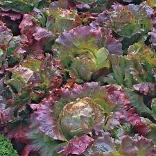 Lechuga vegetal Marvel of Four Seasons Appx 2000 semillas