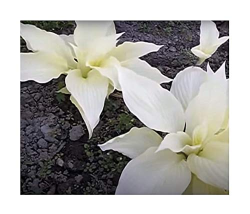 Stk - 1x Hosta White Feather Funkien...