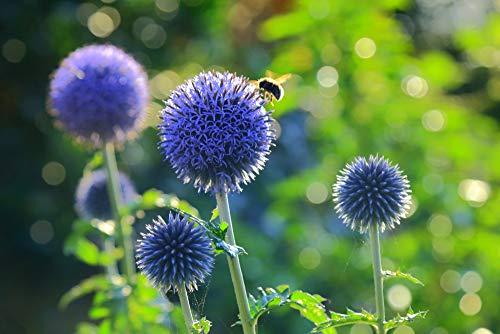 Blaue Kugeldistel 20 Samen - Echinops ritro