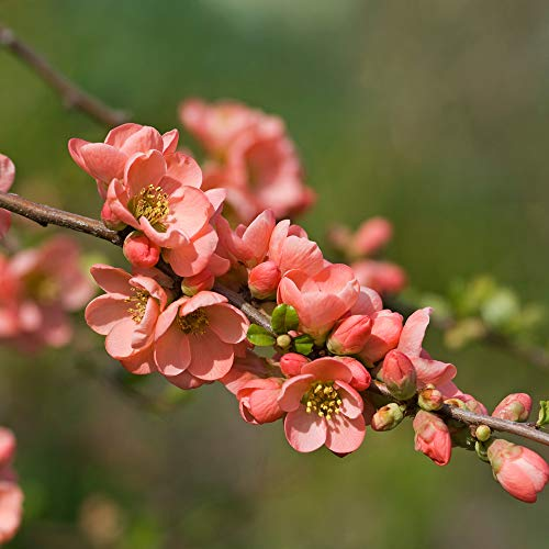 Thompson & Morgan Hardy Shrub Flowering Japanese Quince 'Salmon Horizon' Chaenomeles, Easy to Grow, Potted Garden Plants, Ideal for Smaller Gardens, Patio and Containers (1 x 3.6 Litre Pot)