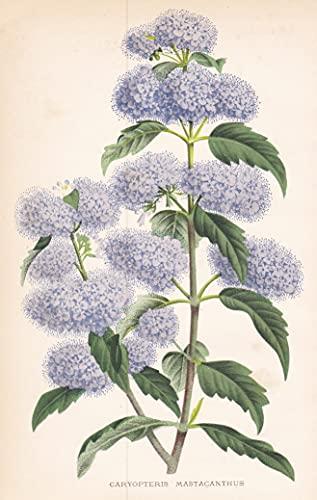 Caryopteris Mastacanthus - China flower Blume Blumen botanical Botanik Botany