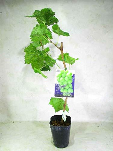 シャインマスカット ブドウの苗木 PVP証紙付 5号(φ15�p)ポット 全高:約65〜75�p