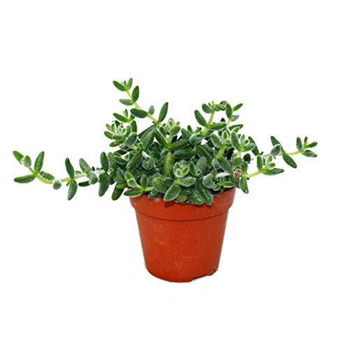 Exotenherz - Saure Gurken Pflanze - Delosperma echinatum - 12cm Topf