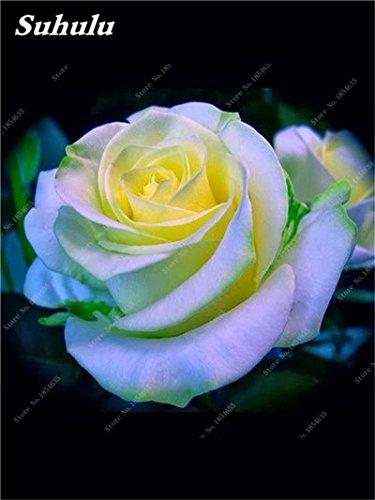 50 Pcs Rose Graines Rose Graines de fleurs Facile à cultiver bricolage jardin Bonsai Plantation jardin Plantons pour Femme Meilleur cadeau d'anniversaire 10