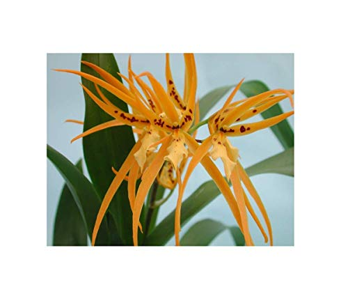 Stk - 1x Brassada Mivada ROC Meristem Sorte Blüte gelb Orchidee OW17 - Seeds Plants Shop Samenbank Pfullingen Patrik Ipsa