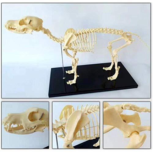 Modelo educativo Anatomía del esqueleto del perro grande Modelo anatómico del esqueleto del perro médico Modelo anatómico del animal Modelo del esqueleto del perro canino para la demostración de la en