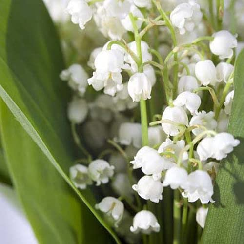 CHTING 20Pcs Lily of The Valley Bulbs Charming Ornamental Bell Orchid...