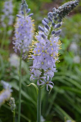 Camassia scilloides Atlantic Camas Wild Hyacinth jocad (50 Seeds)