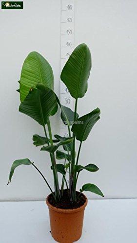 Paradijsvogelbloem - Strelitzia nicolai - witte bloemen (2 planten/pot) - 120-140cm pot Ø 30cm