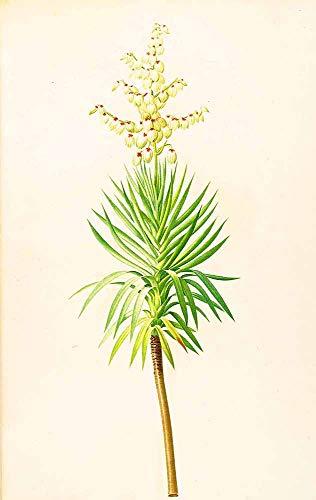 JH Lacrocon Pierre-Joseph Redoute - Yucca Aloifolia Leinwandbilder Reproduktionen Gerollte 30X50 cm - Blume Gemälde Gedruckt Wandkunst
