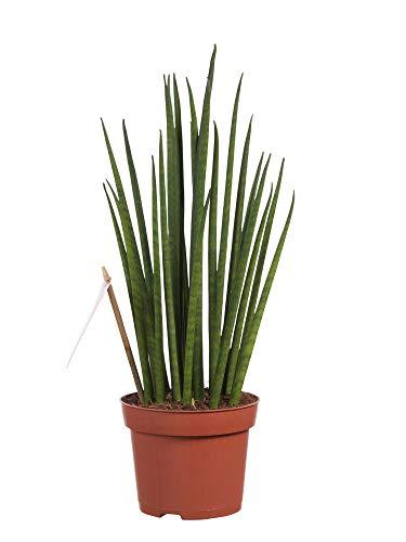 Sanseveria | Langue de belle-mère | Succulente | plante d'intérieur| hauteur 40 cm | Pot 12 cm | Entretien facile