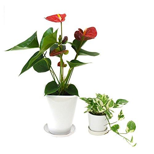選べる観葉植物 陶器鉢2点セット (【4号】アンスリウム(赤) 【3号】ポトス エンジョイ)