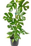 Live Plant - Rhaphidophora Tetrasperma Live Plant, Mini Monstera - 2...