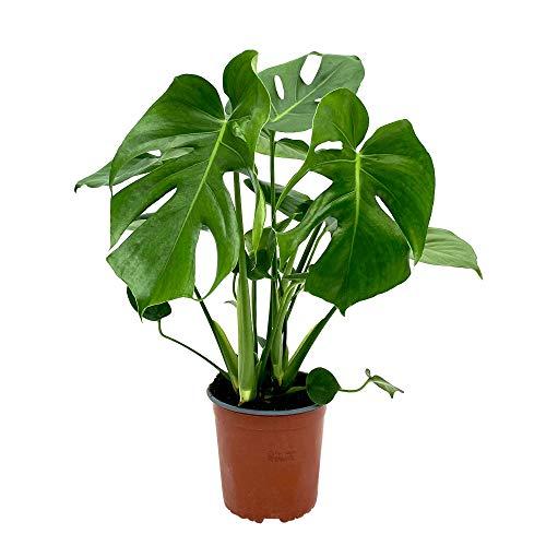 Monstera deliciosa | Fensterblatt | Luftreinigend | Exotische Zimmerpflanzen indoor | Höhe 55-65 cm | Topf-Ø 17 cm