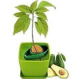 AvoSeedo Faire Pousser Votre Avocatier - Kit Jardinage et Idee Cadeau Homme Original/Coffret Cadeaux Plante Anniversaire Homme/Potager, Plantes Vertes d' Intérieur et Extérieur/Gadget Insolite