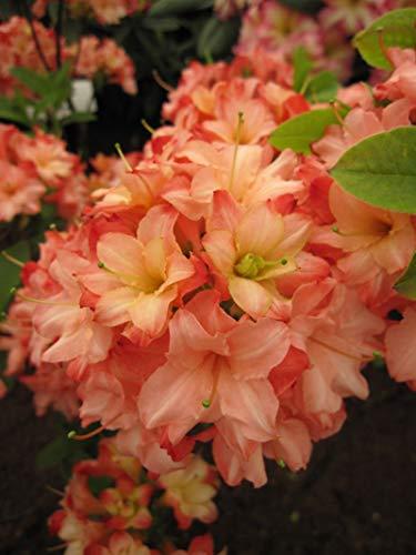 Rhododendron mixtum 'Rosenköpfchen' - sommergrüne Azalee 'Rosenköpfchen' 30-40